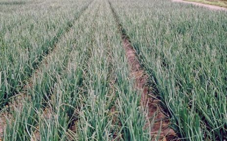 Operation Green Scheme to strengthen the onion